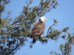 Bald Eagle In A Tree Over Migratory Way (amyboemig) Tags: bald eagle baldeagle bird turnersfalls turners falls ma winter march pine tree