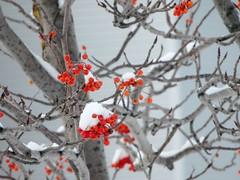 May this year be fruitful one (eijun.ohta) Tags: rowan tree berry fruit winter red snow newyear sapporo hokkaido japan 北海道 札幌 新年 冬 雪 ナナカマド 実 赤