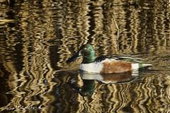 20190106-Anahuac NWR-246-Edit (Scott Sanford Photography) Tags: 80d canon ef14xiii ef100400mmf4556lii eos morning naturalbeauty naturallight nature outdoor sunlight texas topazlabs wildlife animals beautiful birds ducks