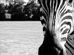 Petit curieux (LUMEN SCRIPT) Tags: lines zebra animal monochrome fauna dof portrait curves blur unsharp movement motion funny closeup