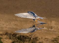 _THS6626s (TARIQ HAMEED SULEMANI) Tags: sulemani tariq tourism trekking tariqhameedsulemani winter wildlife wild birds nature nikon