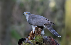 Goshawk (Chas Moonie-Wild Photography) Tags: goshawk hawk male raptor wild scotland prey bird