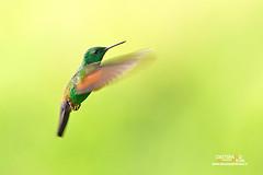 Berylline hummingbird (Nicola Destefano - Wildlife Photography) Tags: amaziliaberyllina colibrìberillo beryllinehummingbird guatemala bird animal wildlife nobody wildlifephotography oneanimal flight flyingbird green nicoladestefano