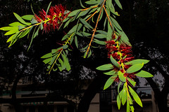 Melaleuca citrina (betadecay2000) Tags: melaleucacitrinadarwin northernterritory australia melaleuca citrina australien myrthen baum tree trees bäume baeume austral australie blüten blüte flower territory rot rood red roughe natuur nature natur pfanze plant plants pflanzen