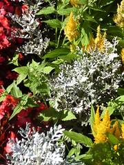 Wheaton, IL, Danada Forest Preserve, Danada House Garden Plants and Flowers (Mary Warren 12.4+ Million Views) Tags: wheatonil nature flora danadaforestpreserve plants blooms blossoms flowers celosia dustymiller garden