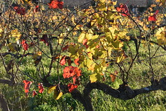 Pàmpols vermells (esta_ahi) Tags: santmartísarroca vinya viña viñedo vineyard vitisvinifera penedès barcelona spain españa испания