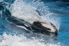 Hourglass Dolphins (Tim Melling) Tags: hourglass dolphin lagenorhynchus cruciger antarctica timmelling