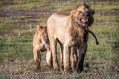 Protecting His Kill (helenehoffman) Tags: africa pantera kenya felidae mammal amboselinationalpark synceruscaffer animal pantheraleo capebuffalo carnivore lion