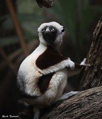 G08A5558.jpg (Mark Dumont) Tags: sifaka zoo mark dumont mammal cincinnati