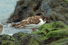 Photo of Eurasian Oystercatcher, Elie. Fife, Scotland