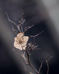 Waiting. (Omygodtom) Tags: macro lowkey flower flora golden usgs tamron90mm tamron texture d7100 digital trail oregon gloomy dark f28