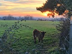 Curious calf at sundown (jiffyhelper) Tags: bedfordshire clapham calf cattle sunset sun field farmland livestock evening clouds hedge apple iphone se