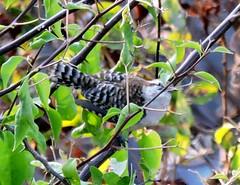 Wren (asterisktom) Tags: chiapas mexico oaxaca 2019 march puertoescondido bird vogel ave 鸟 птица 鳥 pajaro wren coastal mexico2019janmarch