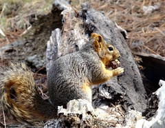 Afternoon snack (EcoSnake) Tags: squirrels easternfoxsquirrel snacks wildlife march winter idahofishandgame naturecenter