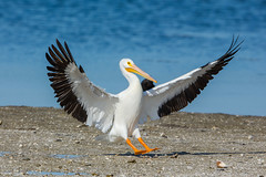Brake time (ChicagoBob46) Tags: americanwhitepelican whitepelican pelican bird jndingdarlingnwr florida sanibel sanibelisland nature wildlife ngc coth5 naturethroughthelens npc