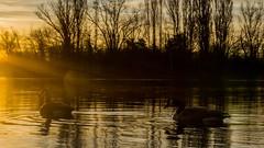 Enten (kuhnjulian094) Tags: sonne sun sonyicle alpha6000 sonyalpha6000 sonyalpha sony natur nature see lake ducks duck enten ente sonnenaufgang sunrise rheinlandpfalz palz pfalz binsfeld speyer