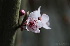 pair (photos4dreams) Tags: blutpflaume blossom blüte blüten blossoms spring frühling rosa pink photos4dreams p4d photos4dreamz photos photo pics purpleleafplum 2018 canoneos5dmark3 canoneos5dmarkiii ©photos4dreams