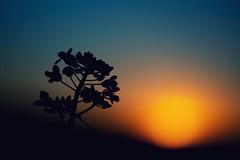 Contra sol (una cierta mirada) Tags: landscape nature sun sunset sunrise sunshine silhouette flower canola outdoors evening blue orange black backlight