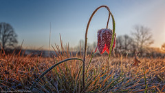Schachblume 1 (Bikerwolferl) Tags: nature red season outdoors grass closeup ruralscene plant agriculture sunlight natur jahreszeit niemand imfreien nahaufnahme ländlichesmotiv pflanze wiese himmel wachstum frühling