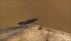 Beetle (DebbieH82) Tags: 200319messingham canon5dmkiv 100mmmacrolens beetle