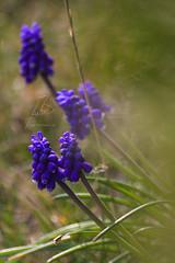 Muscari   Traubenhyazinthen   Grape Hyacinth (BMelzer Fotografie) Tags: