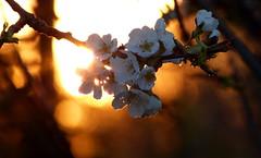 Im Abendlicht (isajachevalier) Tags: blüte kirschblüte licht abend abendstimmung garten natur panasonicdmcfz150