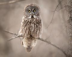 Great Grey Owl portrait (dwb838) Tags: 8x10 tree greatgreyowl