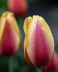 Yellow & Red Tulips (billcoo) Tags: garden flowers 6dii 6d2 bokeh 2 plant