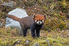 Red Panda (Tim Melling) Tags: ailurus fulgens styani red panda wild sichuan china timmelling bo