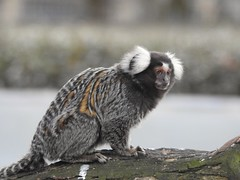 Marmoset (Simply Sharon !) Tags: marmosetmonkey primate animal yorkshirewildlifepark
