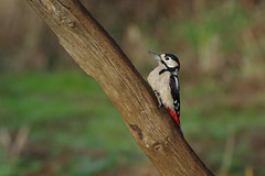 K32P2035c Great Spotted Woodpecker, RSPB Sandy, December 2018 (bobchappell55) Tags: rspb sandy thelodge nature wild wildlife bird greatspotted woodpecker dendrocoposmajor