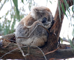 Downtime Down Under - Koala in the Wild on Raymond Island (antonychammond) Tags: koala koalabear phascolarctoscinereus raymondisland gippslandlakes australia victoria easternvictoria contactgroups thegalaxy nature'splus
