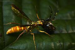 Pompilid wasp with orbweaver spider (pbertner) Tags: rainforest rainforestexpeditions southamerica peru perunature amazon madrededios tambopata tambopataresearchcentre trc puertomaldonado diurnal understory pompilidae predation wasp arachnid spider