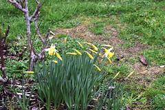 DSC_2530 Daffodils (PeaTJay) Tags: nikond750 sigma reading lowerearley berkshire macro micro closeups gardens outdoors nature flora fauna plants flowers daffodils