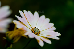 Daisy (nimitrastogi) Tags: daisy flora floral flower blossom bloom blooming nature natural pretty beauty beautiful love