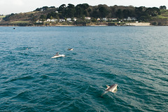 A pod of dolphins seen from the St Mawes to Falmouth ferry (Winniepix) Tags: dolphins river stmawes water fin fal winniepix cornwall pod sea