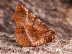 Early Thorn (Selenia dentaria) ♂. (od0man) Tags: earlythorn seleniadentaria geometridae ennominae geometer lepidoptera moth insect macro macrolife skinnertrap liden swindon wiltshire uk