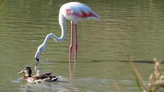 Flamingo (Meino NL) Tags: flamingo phoenicopteridae saintesmariesdelamer leparcornithologiquedepontdegau france zuidfrankrijk pontdegau camargue vogel bird