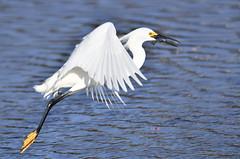 Snowy Egret(Egretta thula) (eros3714) Tags: birds birdsinflight snowyegret egrettathula eros wakodathacheewetlands nikon naturephotography nikond500 nature