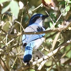 California Scrub Jay #1 (MJ Harbey) Tags: bird jay californiascrubjay scrubjay aphelocomacalifornica animalia aves passeriformes corvidae pacificgrove california usa monterey nikon d3300 nikond3300
