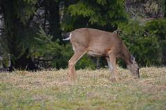 Black-tailed Deer (Neal D) Tags: bc abbotsford deer blacktaileddeer langley