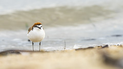 Red-capped Plover ( Charadrius ruficapillus ) (look to see) Tags: redcappedplover charadriusruficapillus bird plover wilsonspromontory nationalpark victoria australia yanakie 2019 canonef300mmf28mk2