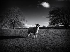 Curious Sheep (Feldore) Tags: yorkshire west witton sheep field farm staring england english feldore mchugh em1 olympus 1240mm