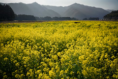 20190326a73_6380 (Gansan00) Tags: lce7m3 α7ⅲ sony zeiss japan 山口県 yamaguchi 日本 landscape snaps ブラリ旅 3月 錦町 菜の花
