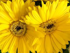 Kissing Daisies (Walt Polley) Tags: bachman copyrightâ©2019waltpolley flowers iphone7s â©walterpolley