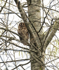Bosuil / Strix aluco (m.ritmeester) Tags: ngc naturelovers natuur nederland bruin bos bomen bosuil wit groen