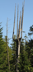 Tree skeleton along Tonquin Trail in Tofino on Vancouver Island (albatz) Tags: walk hike tonquintrail tofino vancouverisland canada tree skeleton