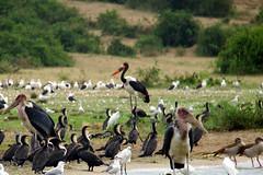 Saddlebilled Stork (pbr42) Tags: africa uganda queenelizabethnationalpark nationalpark hdr water lake crater bird h2o kazinga kazingachannel animal nature saddlebilledstork stork