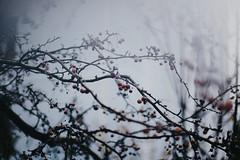 (Damla Özcan) Tags: nature snow winter holly tree branch bokeh canon eos 5d mark ii 50mm f14 cone new year christmas spirit