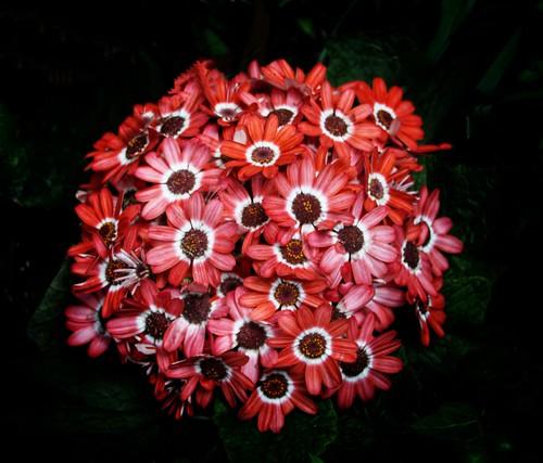 Sonnenberg Gardens & Mansion ~ Historic Park ~ Canandaigua NY -   Garden Flower Cluster